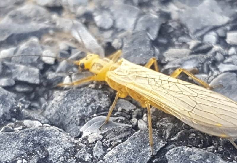 yellow sally stonefly, yellow sally fly, yellow stonefly, golden stonefly, eastern pennsylvania yellow sally