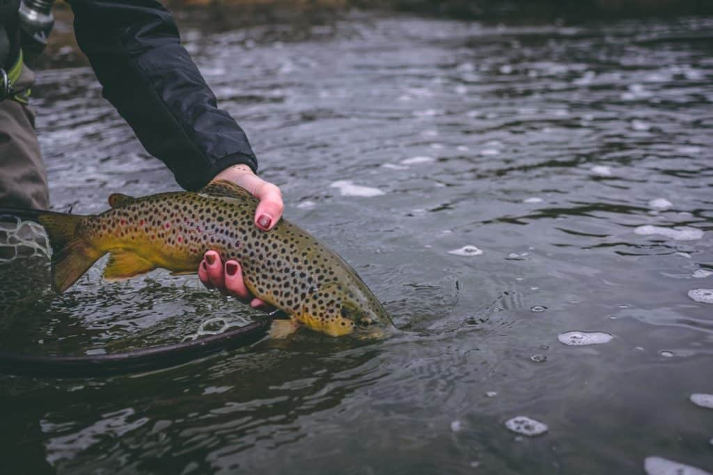 fly fishing colorado, colorado fly fishing locations, tailwater fishing, brown trout colorado, fly fishing brown trout
